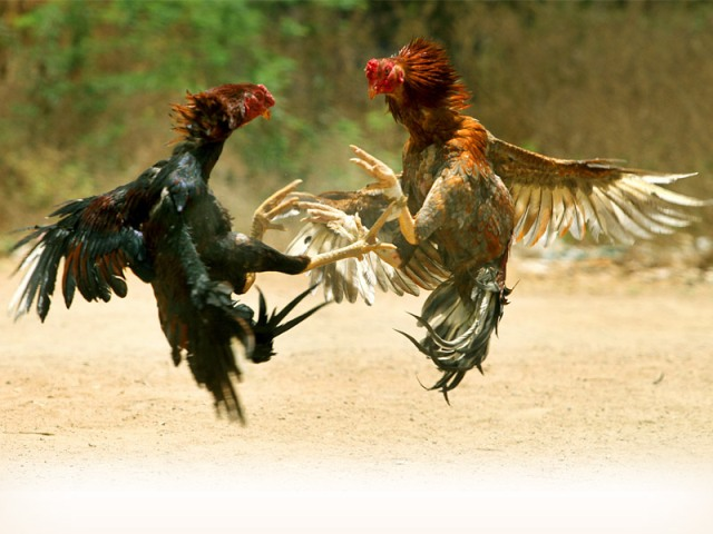 Judi Sabung Ayam Digrebek