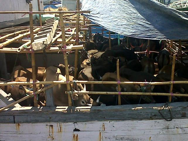Kapal Gagal Bongkar Muat, 13 Sapi Mati di Atas Kapal
