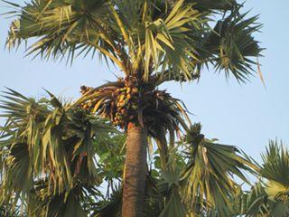 Wow !!! Di Desa Candisari Demak Ada Pohon Siwalan