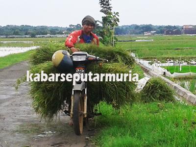 Demi Sapi Pak Sutiyo Setiap Hari Ngarit Rumput
