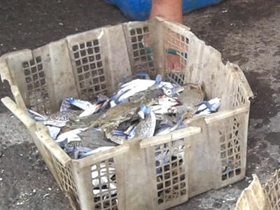 Nelayan Desa Kedungmutih Hasilkan Satu Ton Rajungan Setiap Hari