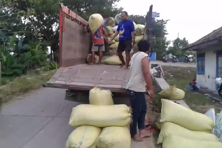Panen Padi Rejeki Bagi Tenaga Manol Di Desa Mutih Kulon