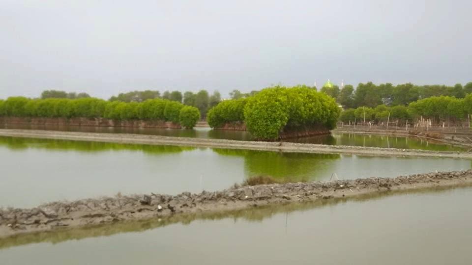 Sejuknya Areal Pertambakan Demak , Dengan Mangrovenya