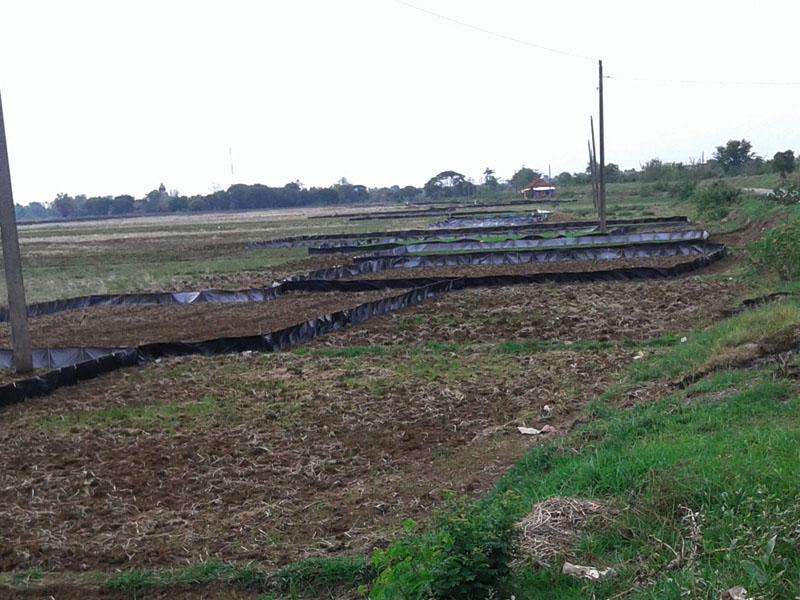Hujan Turun , Petani Wedung Utara Tebar Benih Beramai-ramai
