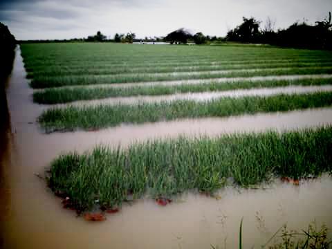 Petani Bawang Merah Di Desa Pasir, Desa Ngelokulon Siap-siap Merugi