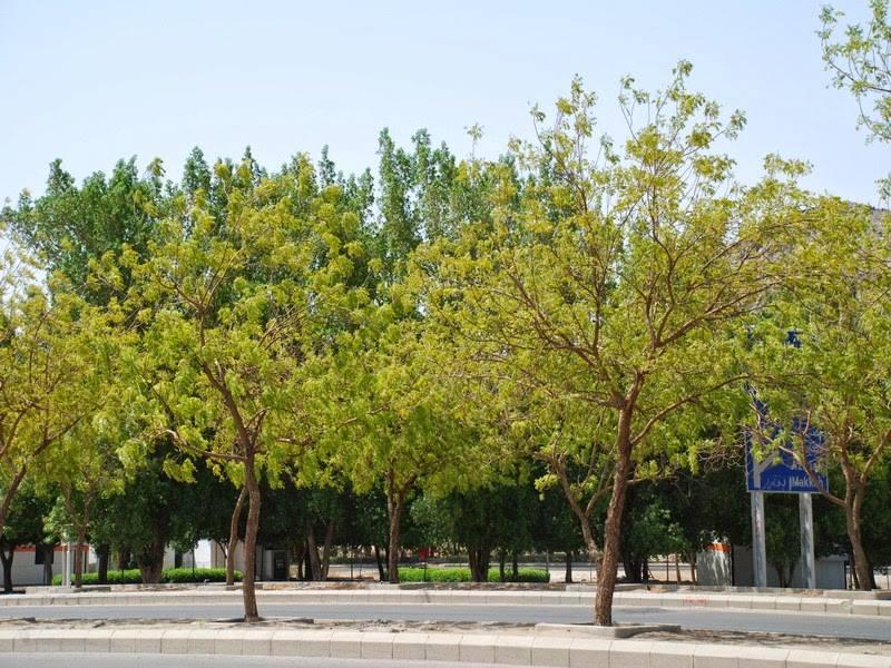 Inilah Pohon Soekarno Yang Membuat Rindang Padang Arafah