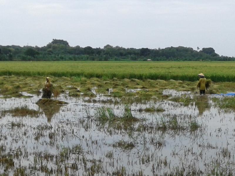 Petani Di Kecamatan Kedung Mulai  Panen, Berpacu dengan Air Banjir