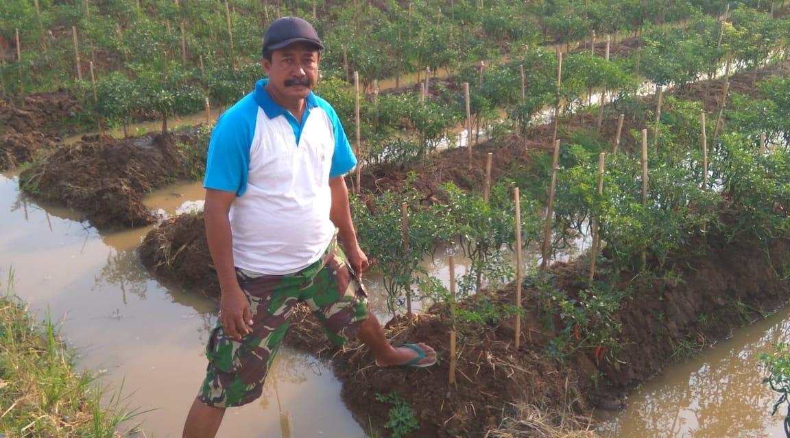 Khafid Petinggi Desa Gerdu  Hobi Bertani , Kini Bertanam Cabai di Lahan Bengkoknya