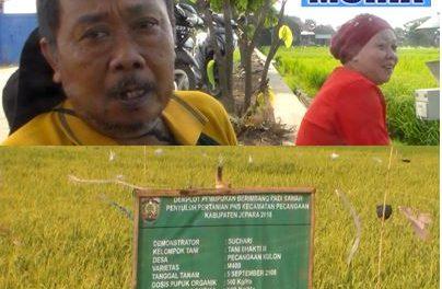 Bertani Ala Haji Suchaeri Pecangaan Kulon Jepara , Hasilnya Bisa Cetak Sarjana dan Naik Haji