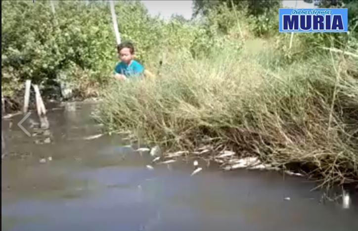 Aduh !!!! Ribuan Ekor Ikan Di  Babadan Demak Mati , Di Duga Karena Limbah Pabrik Masuk Tambak