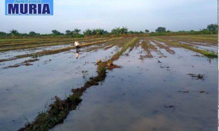 Petani Desa Tedunan Demak , Mulai Tanam Padi Untuk MT II