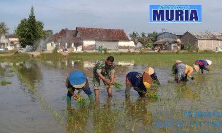 Kemanunggalan TNI dan Rakyat , Babinsa di Pati ini Temani Petani Tanam Padi