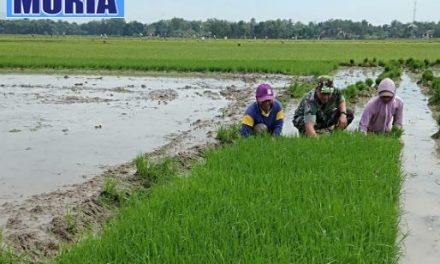 Babinsa di Pati Dampingi Petani Tanam Padi , di 17  Desa di Kecamatan Kayen