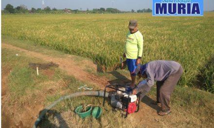 Puluhan Hektar Sawah di Kecamatan Kedung Jepara Kekeringan, Terancam Gagal Panen