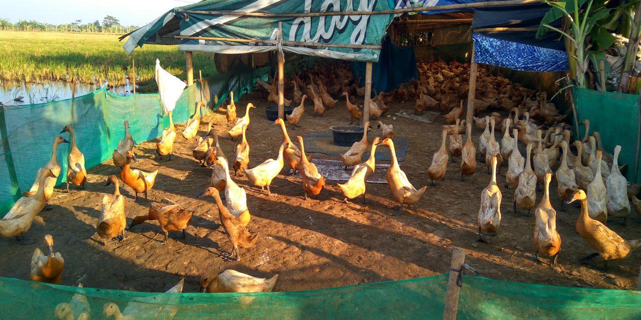 Mbah Hasyim 40 Tahun Ternak Itik Petelur , Butuh Kandang Semi Permanen
