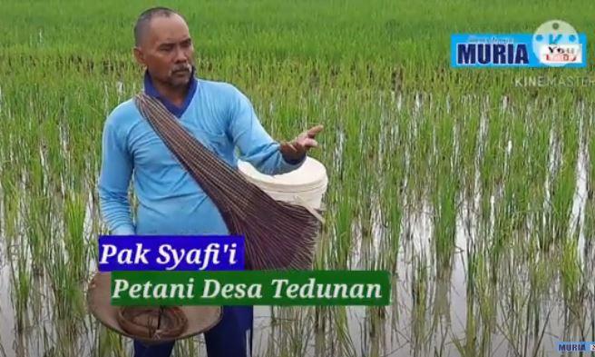 Pupuk Subsidi Baru Cair Bulan Januari , Pak Syafii Terpaksa Beli Pupuk Non Subsidi Meski Harganya Lipat Tiga Kali