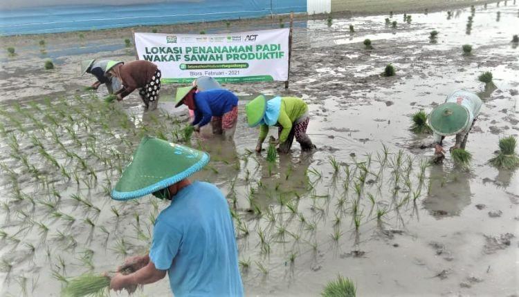 Ikhtiar ACT Percepat Kedaulatan Pangan dengan Wakaf Sawah Produktif di Blora