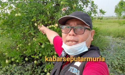 Buah Bintaro Tumbuh Subur Di desa Kalianyar Jepara , Meski Beracun Tapi Bermanfaat